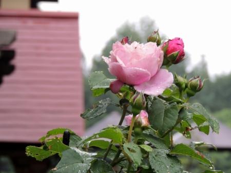 N4443雨とバラ
