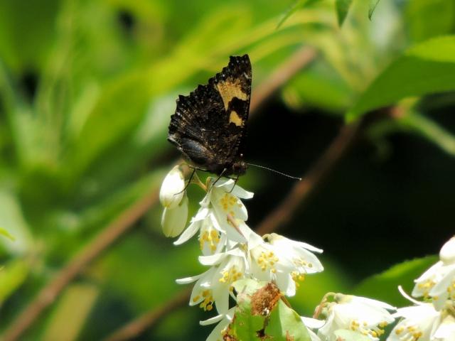 N4720採蜜する蝶
