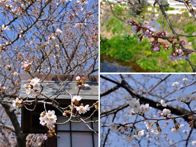 3/28 土手の桜3