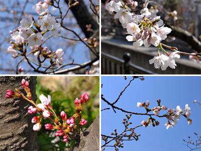 3/28 土手の桜4