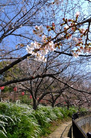 3/28 土手の桜6