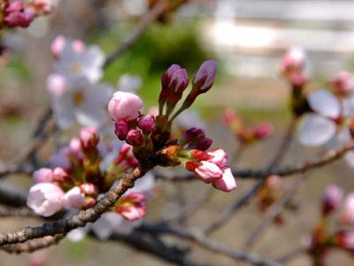 3/28 土手の桜7