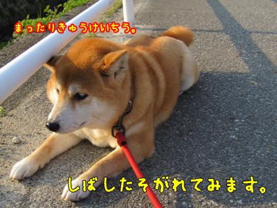 とっとと休憩する柴犬