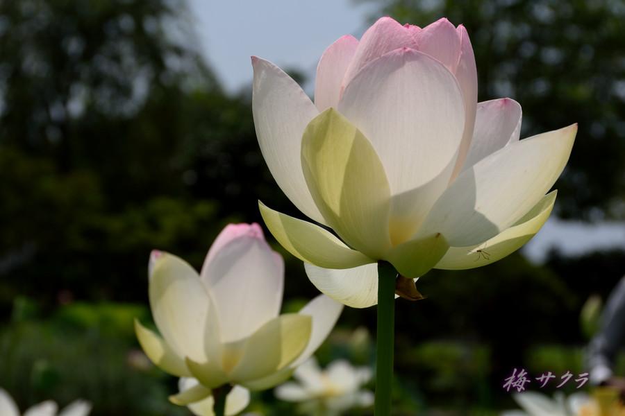 沢観音寺の蓮9変更済