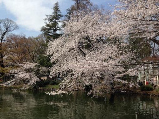 井の頭公園 桜 2014