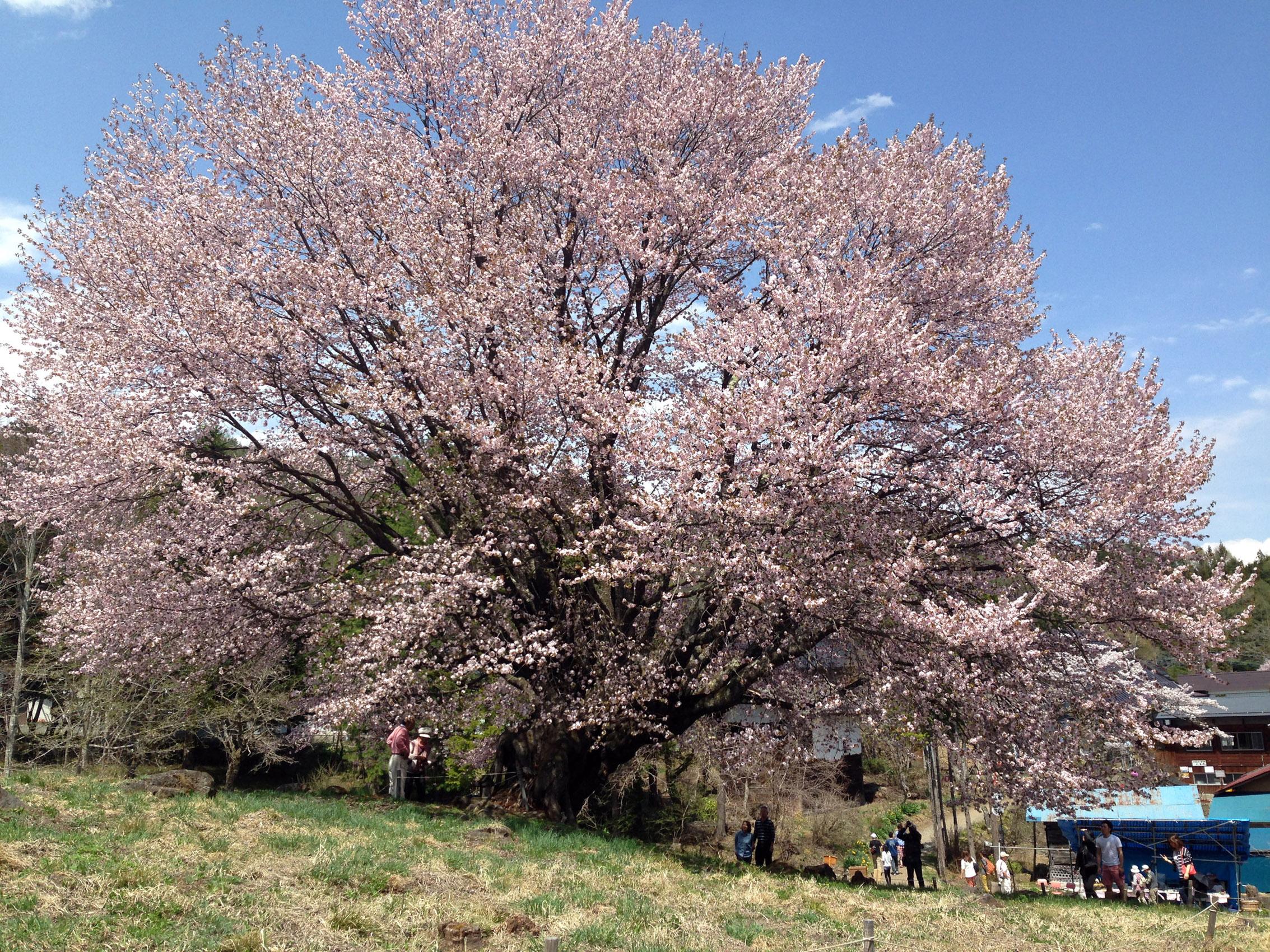 20140503 片品村 「満開の天王桜」 撮影 遠藤夕幻