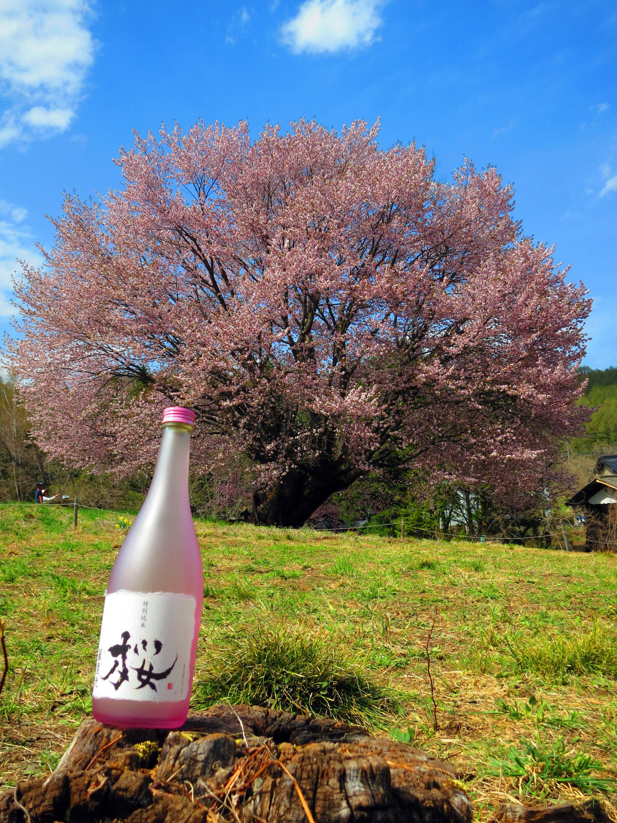 20140503 片品村の「天王桜」と譽國光季節限定酒の「桜」 撮影 遠藤夕幻