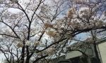 sakurakosumo4.jpg