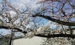 sakurakosumo5.jpg