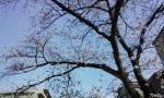sakurakosumo6.jpg