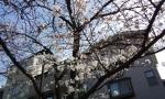sakurakosumo8.jpg