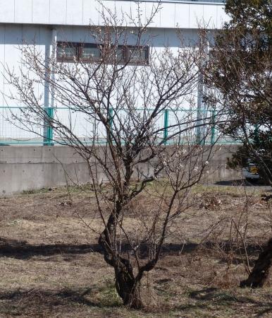 tnH26-03-22白梅 (11)_1
