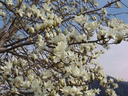 tnH26-03-29こぶしの花 (3)