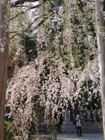 tnH26-04-16慈雲寺のイトザクラ (6)