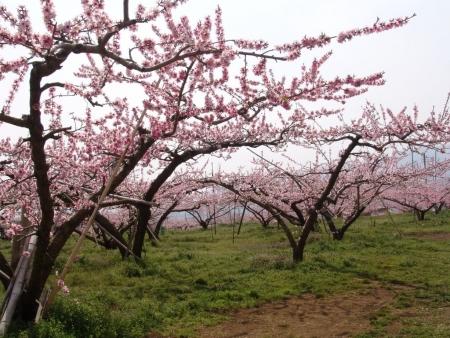 tnH26-04-16慈雲寺付近の桃畑 (1)