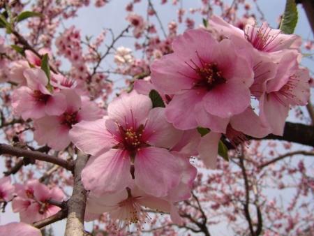 tnH26-04-16慈雲寺付近の桃畑 (2)