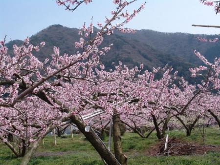 tnH26-04-16慈雲寺付近の桃畑 (3)