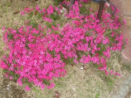 tnH26-04-24芝桜 (3)