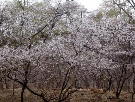 tnH26-04-28中の茶屋の富士桜 (6)