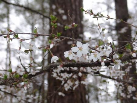 tnH26-04-28中の茶屋の富士桜 (10)