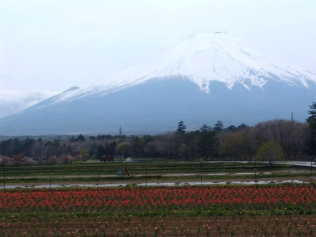 tnH26-05-08山中湖花乃杜公園のチューリップ (2)