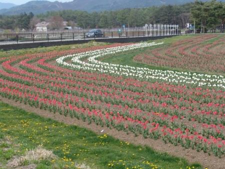 tnH26-05-08山中湖花乃杜公園のチューリップ (11)