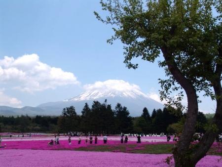 tnH26-05-16本栖湖の芝桜 (11)
