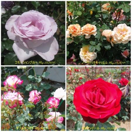 tnH26-05-23ハーブ庭園のバラ4種 (4)