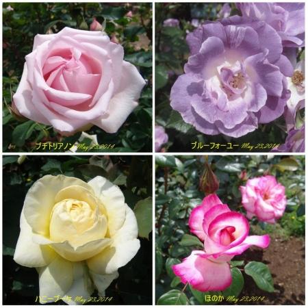 tnH26-05-23ハーブ庭園のバラ4種 (3)