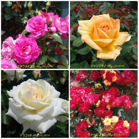 tnH26-05-23ハーブ庭園のバラ4種 (2)