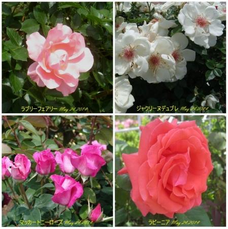 tnH26-05-23ハーブ庭園のバラ4種 (1)