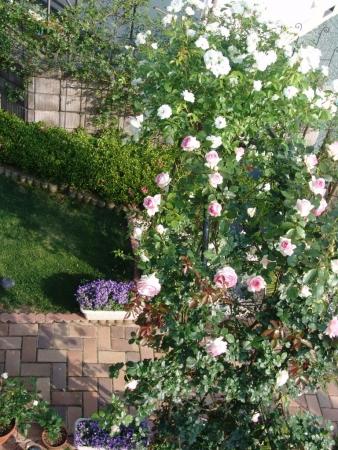 tnH26-05-31アーチのバラ (8)