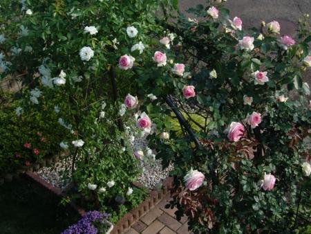 tnH26-05-31アーチのバラ (18)