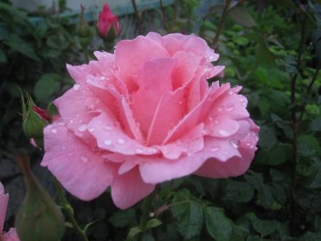tnH26-06-05ピンクのバラ (3)