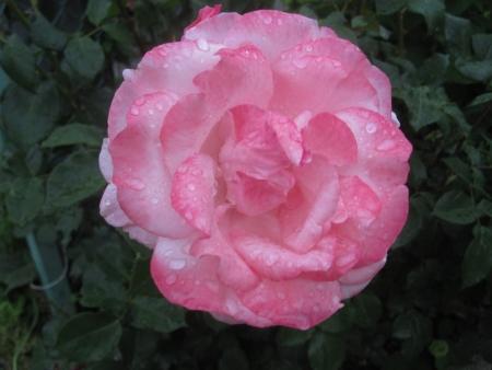 tnH26-06-05ピンクのバラ (4)