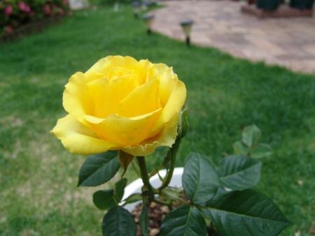 tnH26-06-09ミニバラ「ロザリー」 (5)