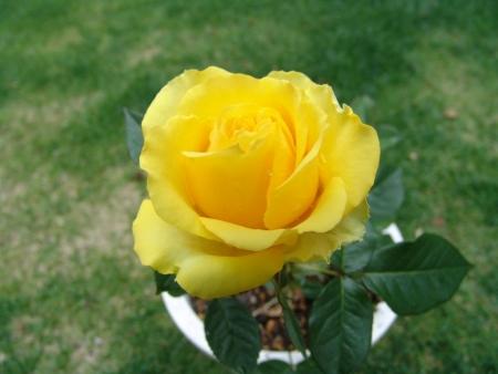 tnH26-06-09ミニバラ「ロザリー」 (4)