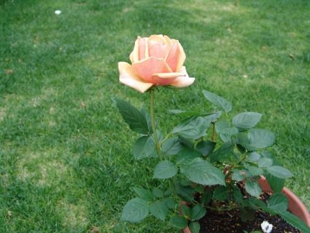 tnH26-06-09オレンジ色のバラ (4)
