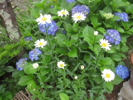 tnH26-06-18紫陽花とシャスターデイジー (3)