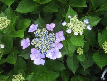 tnH26-07-05紫陽花 (3)