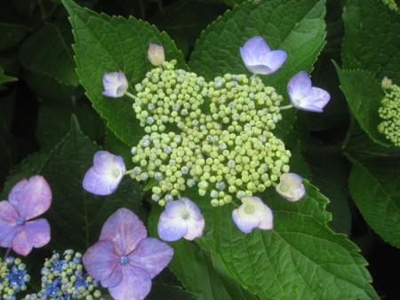 tnH26-07-05紫陽花 (2)
