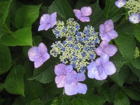 tnH26-07-05紫陽花 (1)