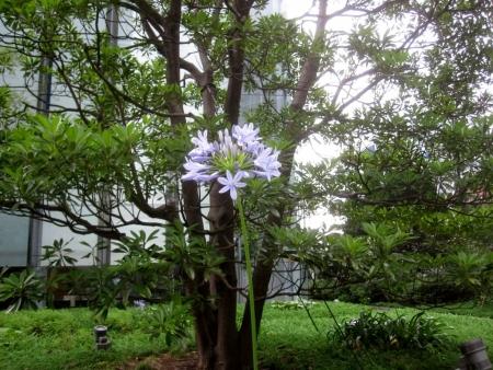 tnH26-07-19パナソニックショール無の庭のアガパンサス (1)