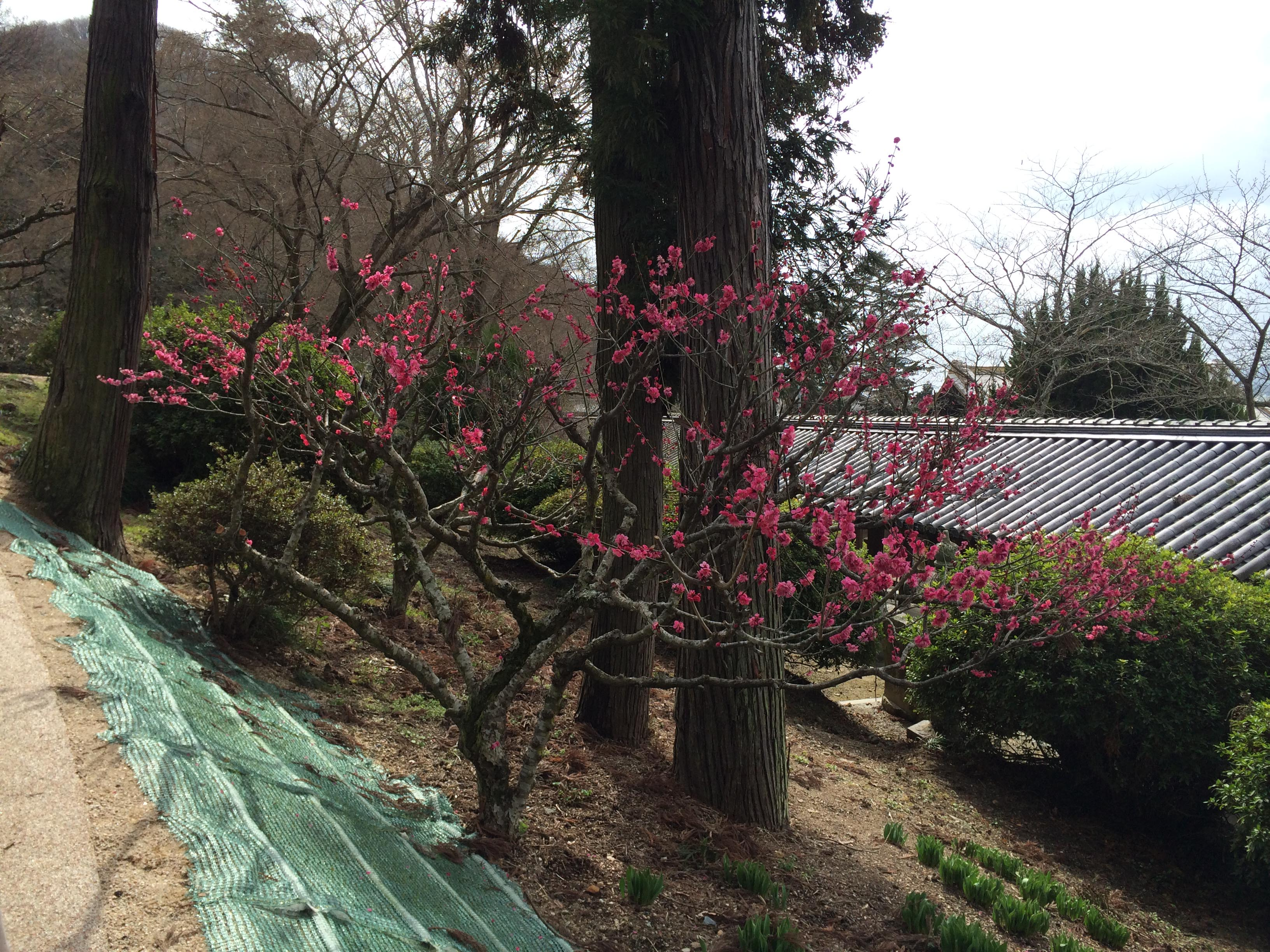 吉備津神社梅の花1