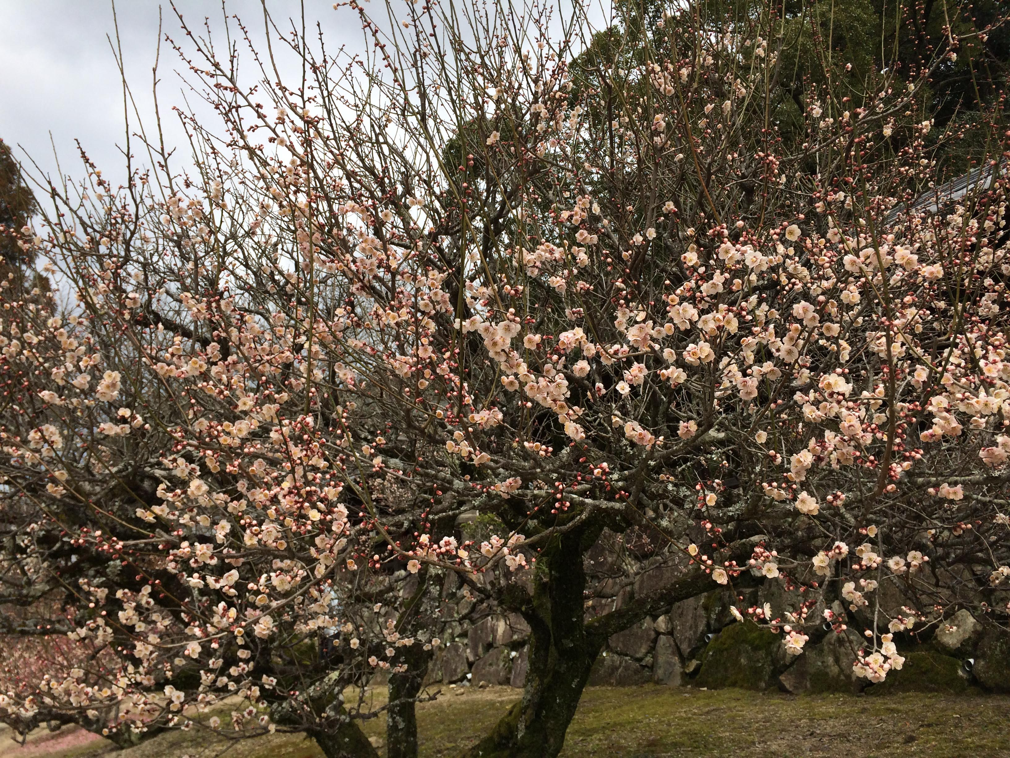 吉備津神社梅の花2