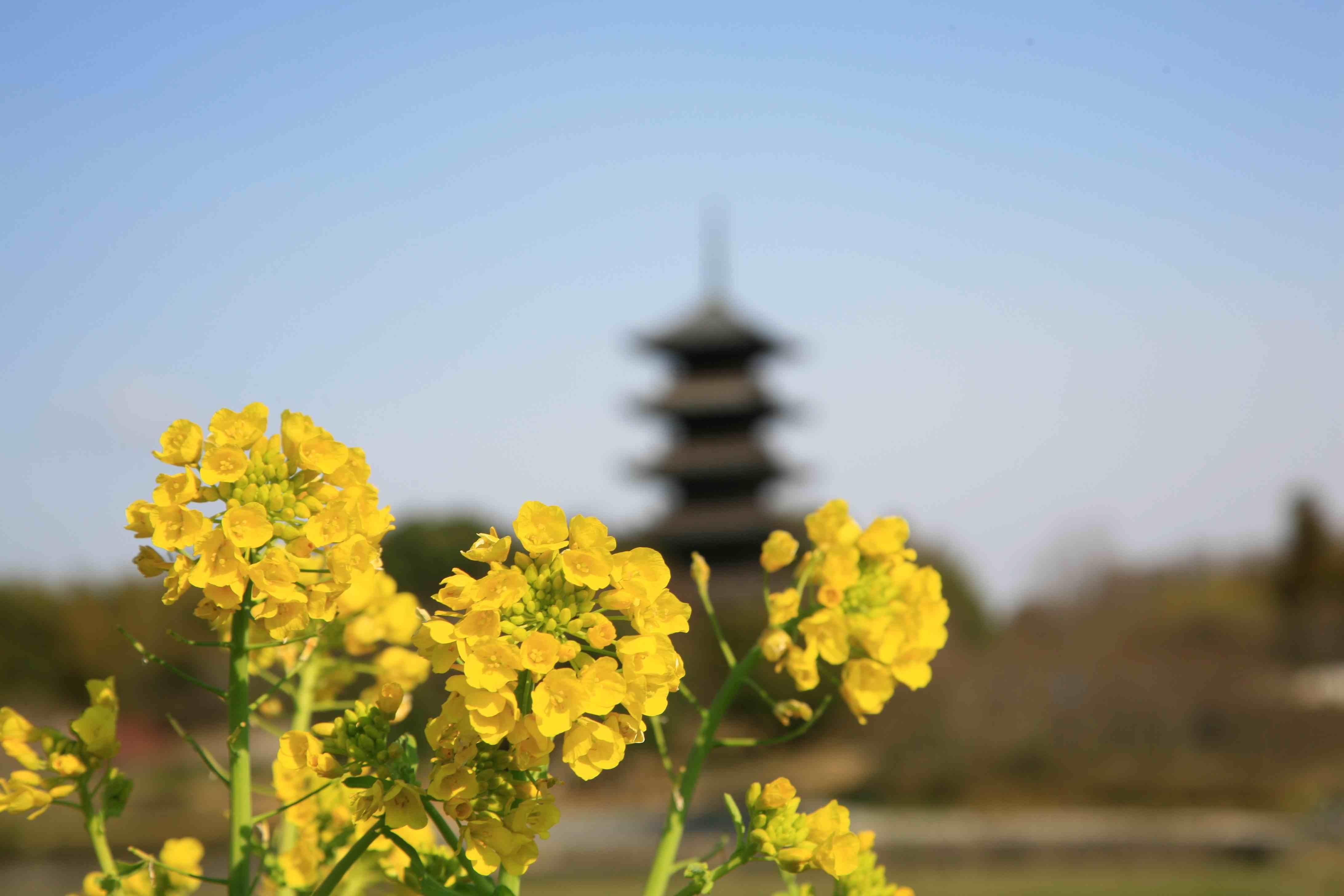 菜の花と国分寺