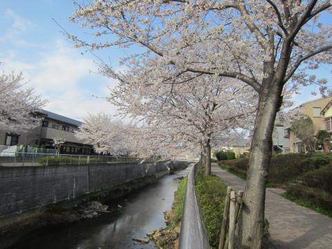 h26,4桜2