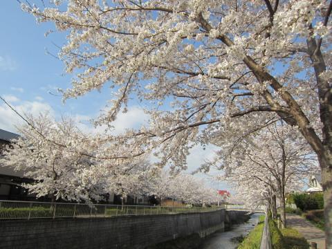 h26,4桜3