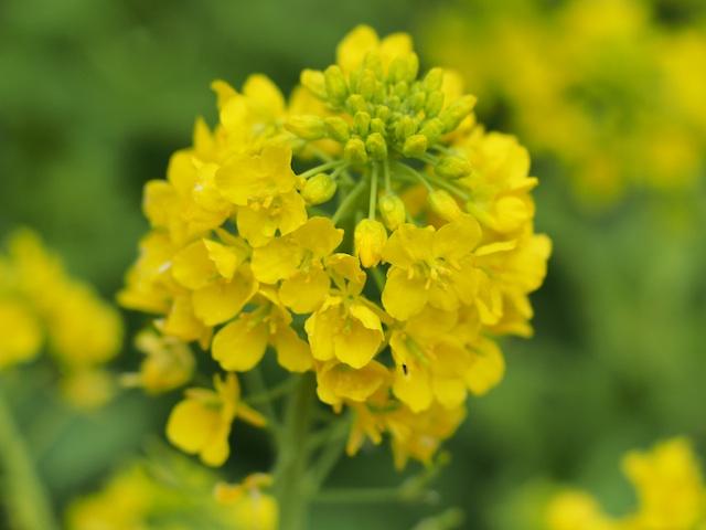 P3180061 菜の花