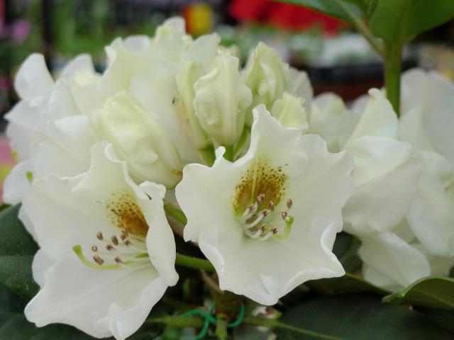 L1070295 白い花